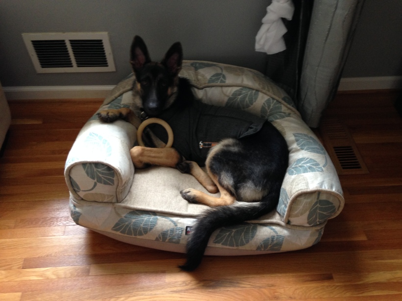 Kira (fka Trina) in her new dog bed. It looks like she's wearing a Thundershirt here, and I'm not sure why; they didn't mention it.
